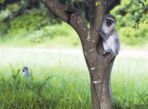 green-vervet-monkey